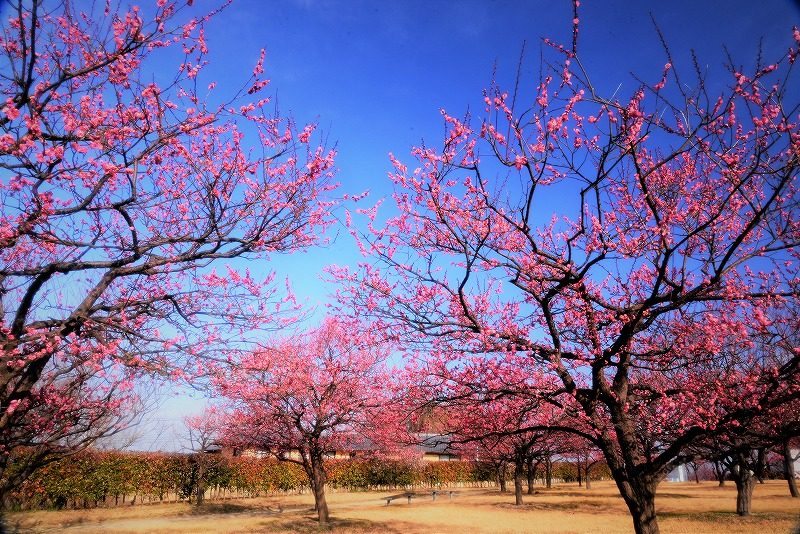神埼梅園5