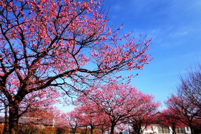 神埼梅園6