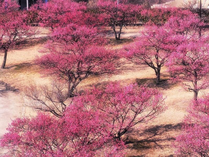 神埼梅園2