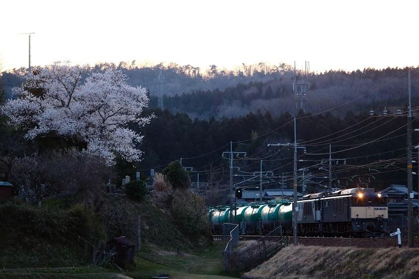 桜はここから