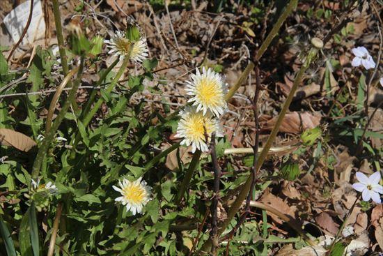 白花たんぽぽ1