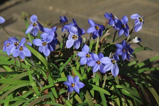 ハナニラ ブルー1