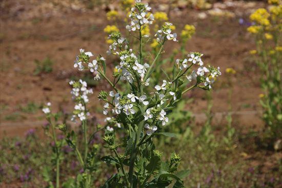 大根の花1