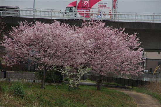 横浜緋桜1