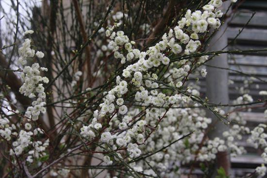 シジミ花1