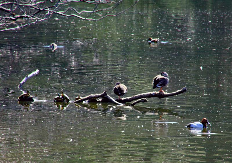 蓮池のカモとカメ