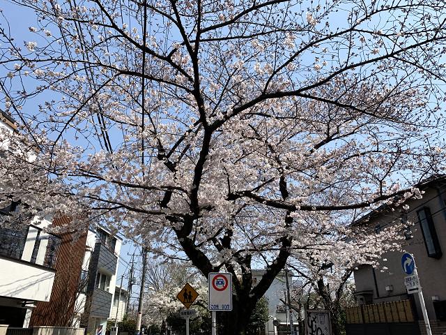 2019年東京桜@2019年3月27日 by占いとか魔術とか所蔵画像