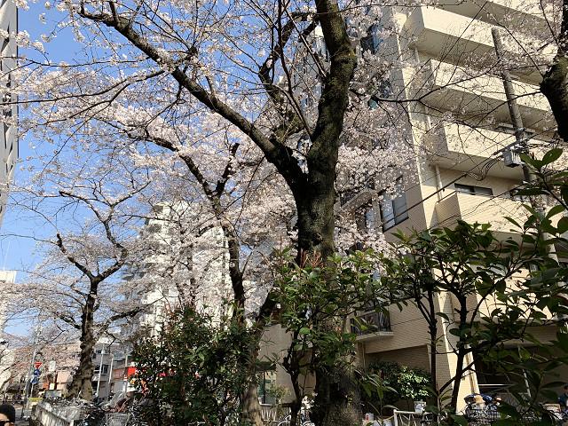 2019年東京桜1@2019年3月27日 by占いとか魔術とか所蔵画像