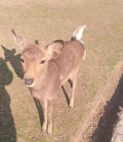 こころ 鹿