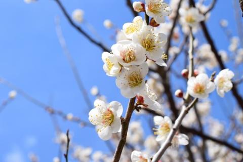 梅の花@めい