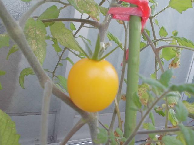 黄色いトマト・奄美大嶋観光ガイド