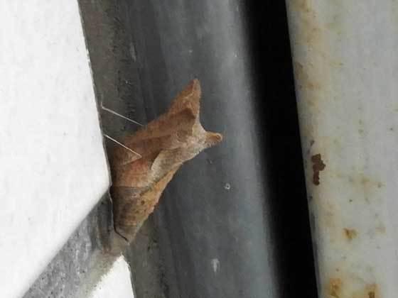 アゲハチョウ蛹