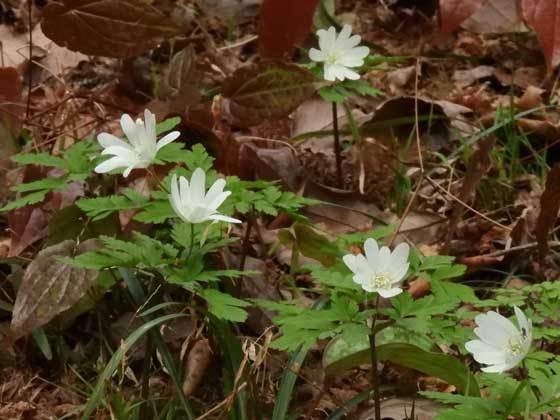 キクザキイチゲ白花