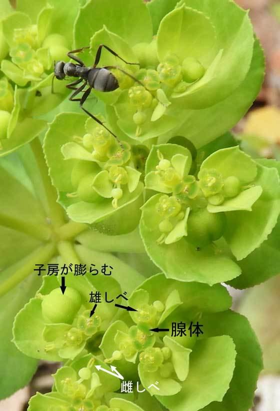 トウダイグサ杯状花序