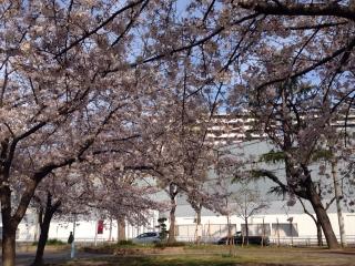 桜の向こうの