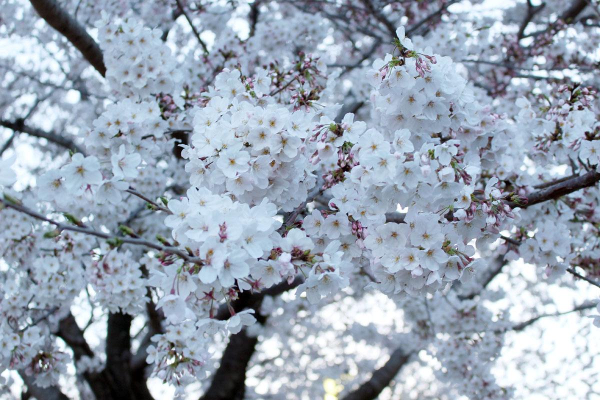 夜桜 ソメイヨシノ 駿府城公園 190405 a