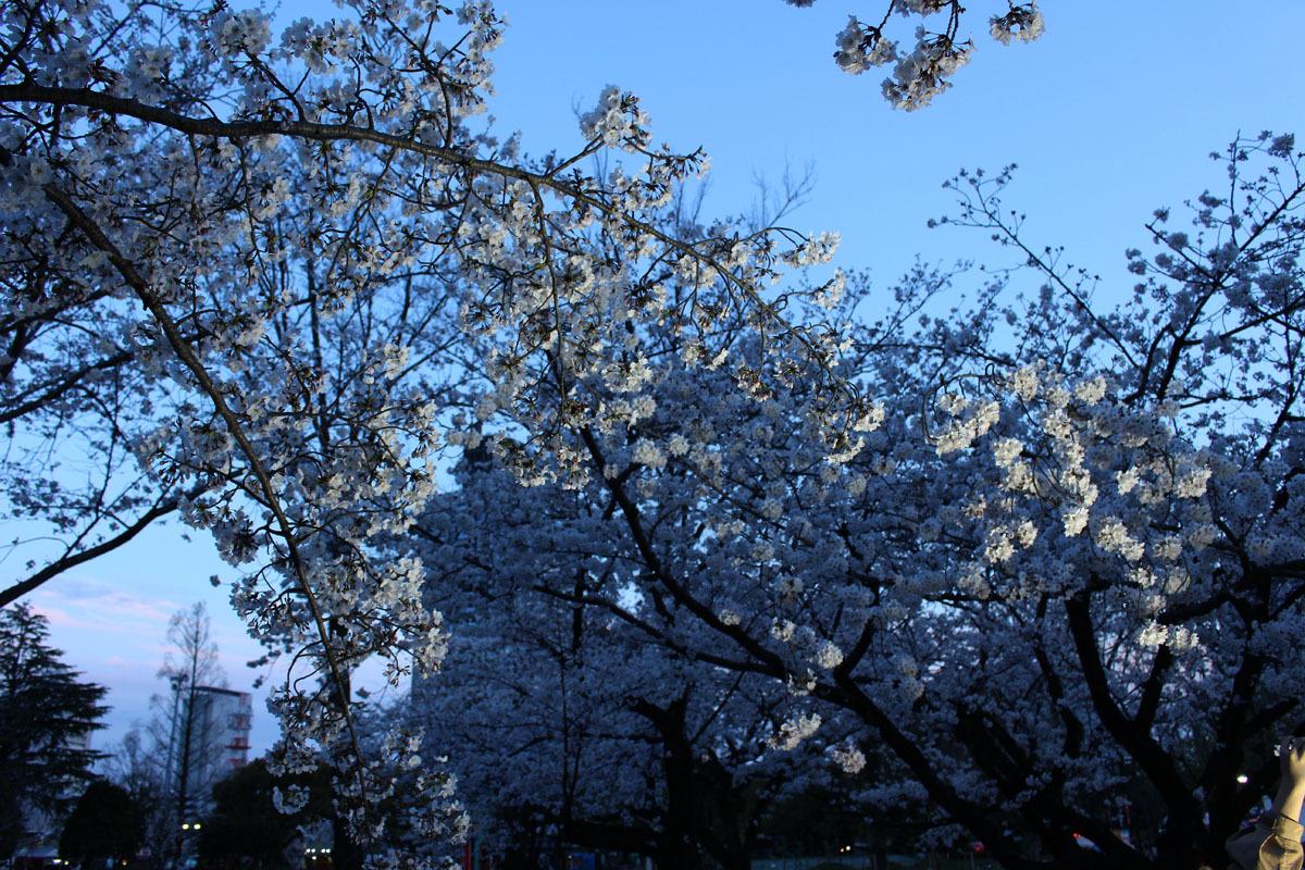夜桜 ソメイヨシノ 駿府城公園 190405 c