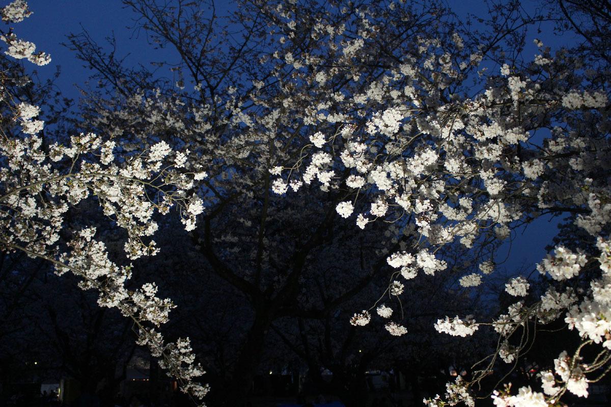 ライトアップされたソメイヨシノ 駿府城公園 190405