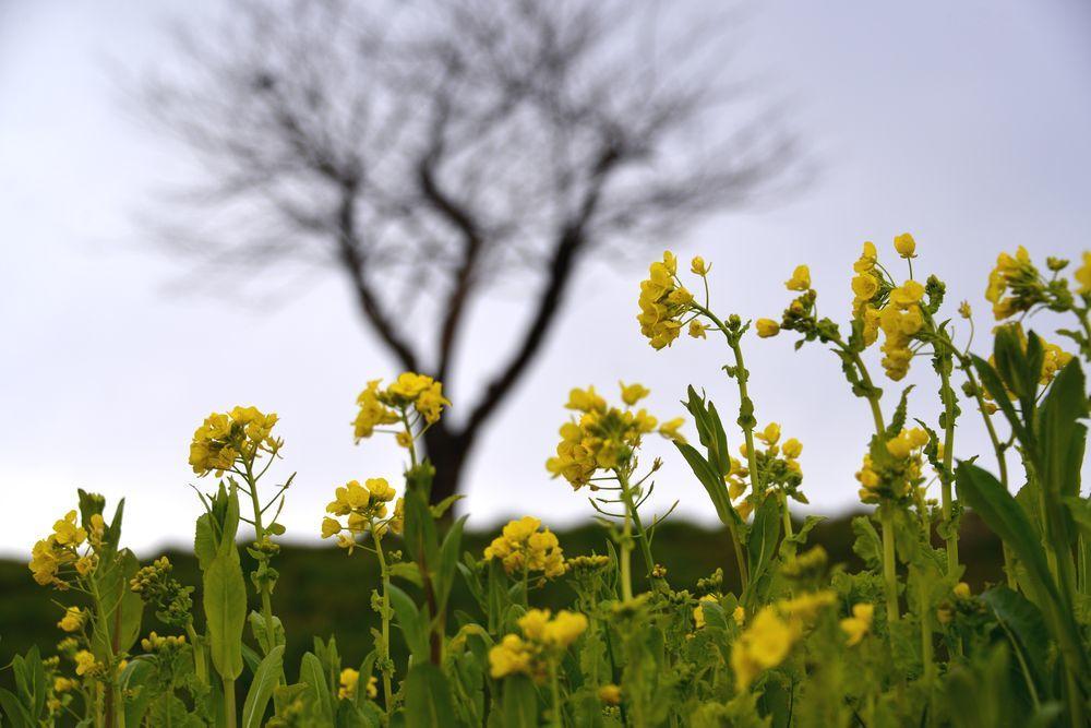 菜の花と桜-4