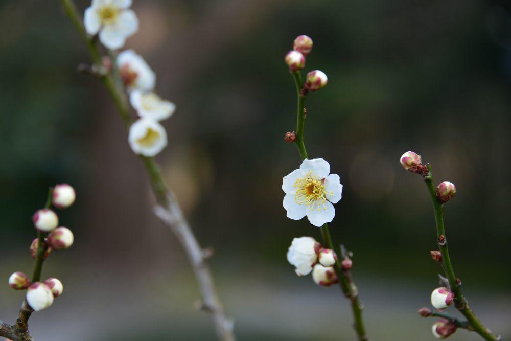 菜の花と桜-7