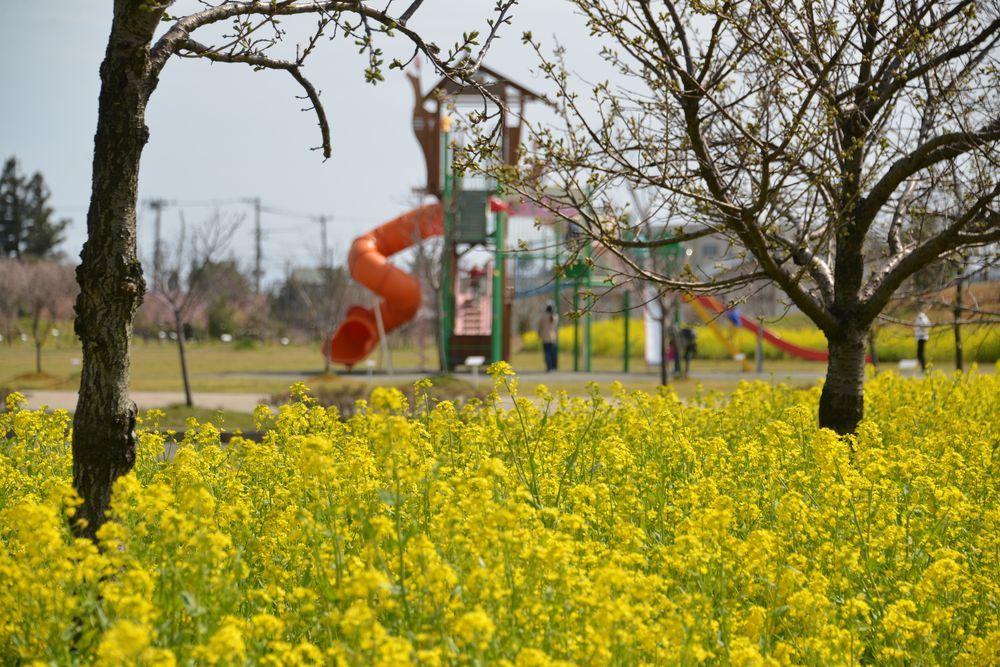 公園の菜の花-1
