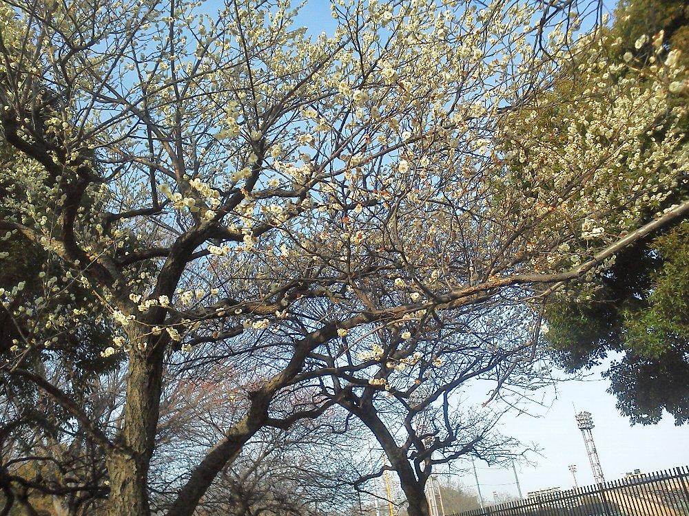 F1000053朝霞中央公園白梅2月8日
