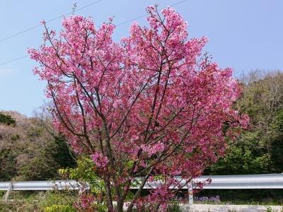愛媛の桜(2019年3月30日)