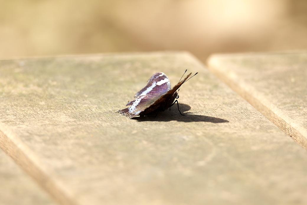 蝶さん_2