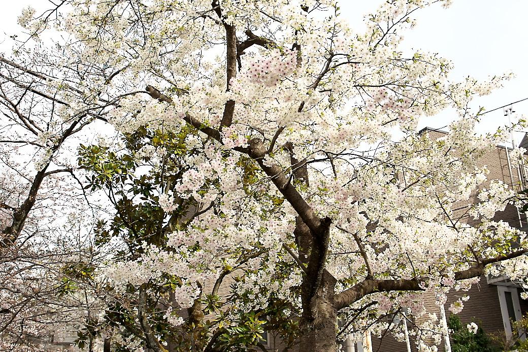 その他の桜_1