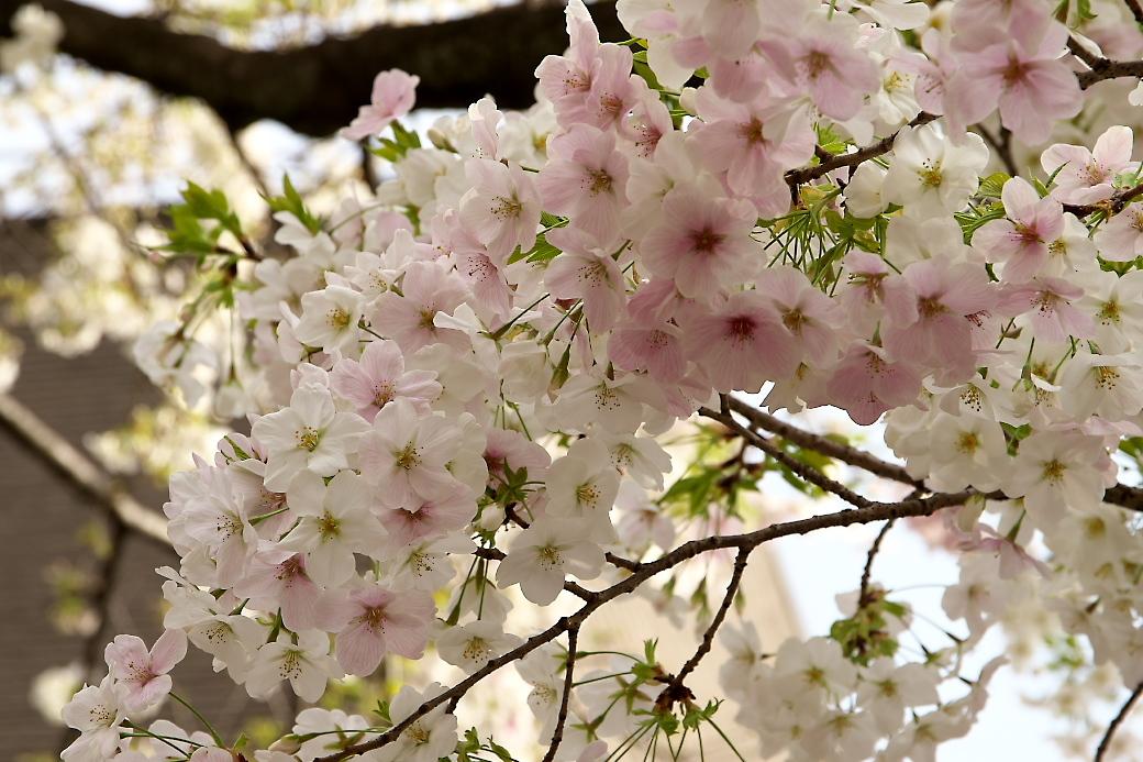その他の桜_2