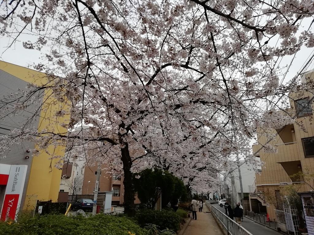 一昨日(30日)の桜_スマホ