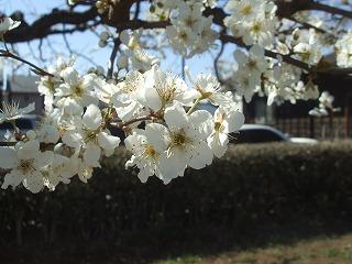 2019.03.24【春の花】 (6)