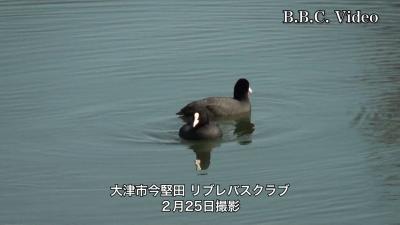 琵琶湖のオオバン(YouTubeムービー)