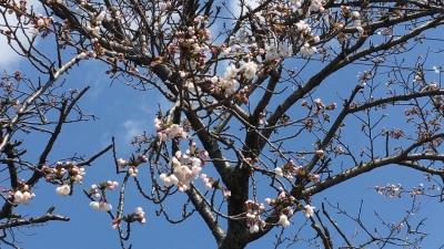 強風続く琵琶湖!!米プラザのサクラがチラホラ咲きに(YouTubeムービー)