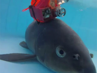 水中カメラを取り付けられた在来コイ