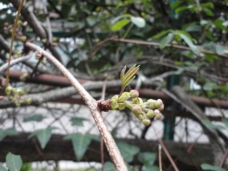 アケビの新芽