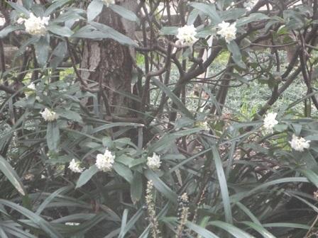 出先の沈丁花