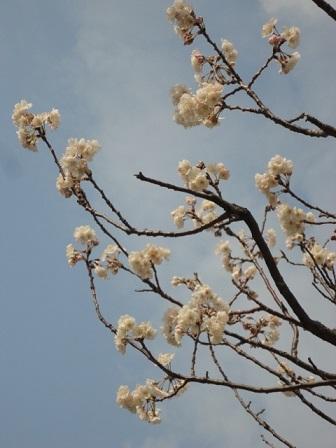 さくらんぼの木②