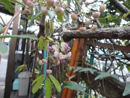 アケビの新芽と花