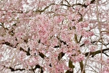 田ノ頭郷枝垂桜(3)