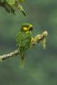 Ognorhynchus_icterotis_-Colombia-8[1]