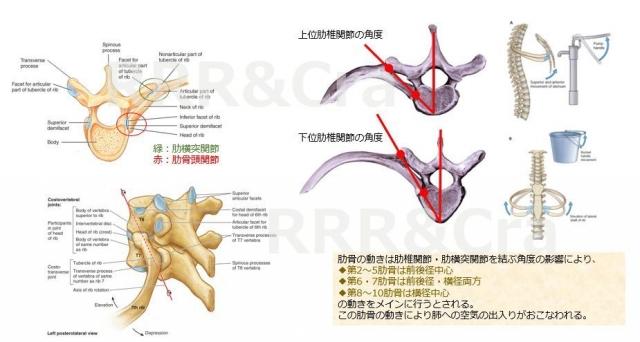 肋椎関節の構造