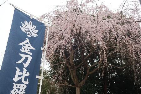 金比羅枝垂れ桜20190325-1