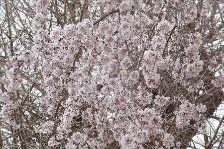 金比羅枝垂れ桜20190325-2