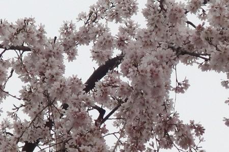 金比羅枝垂れ桜20190325-3