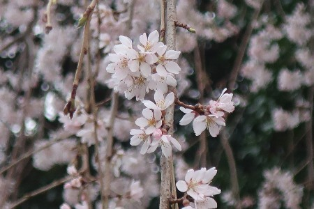 金比羅枝垂れ桜20190325-4