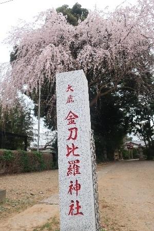 金比羅枝垂れ桜20190325-5