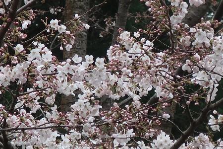 桜とN-BOX20190329-04