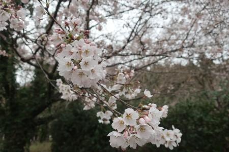 桜とN-BOX20190329-05