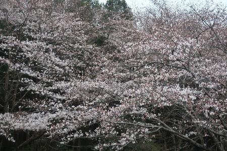 桜とN-BOX20190329-06
